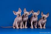 Канадский сфинкс,  котята продаются.