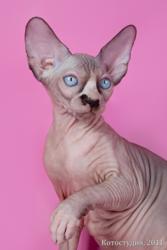 Котёнок сфинкс принесёт Вам радость в дом.