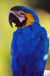 попугай сине желтый ара