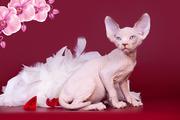 Верная собака- кошка канадский сфинкс.