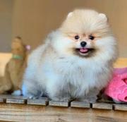 Собака Поморская