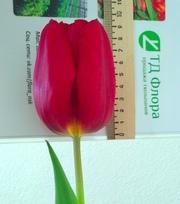 Тюльпаны оптом Новосибирск,  Томск,  Барнаул и Кемерово